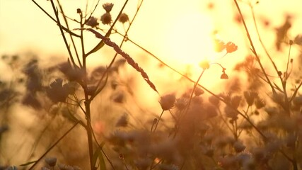 Fotoväggar - Beautiful Meadow with wild flowers over sunset sky. Camomile medical flower, Beauty nature field background with sun flare. Rural landscape. Slow motion 240 fps, 4k UHD video footage.