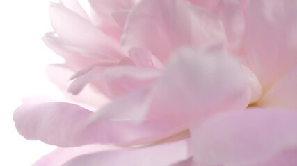 Fotoväggar - Peony flower petals closeup rotation on white. Blooming pink peony flower bunch, close-up. Wedding backdrop, Valentine's Day concept. Soft pastel wedding background. Valentine's Day. 4K UHD