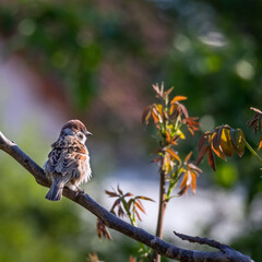 Sparrow on a branch in the garden