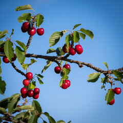 Fruity cherries on a cherry tree