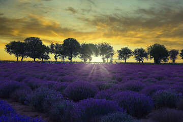 Sunset in lavender field with orange sun on a late summer day