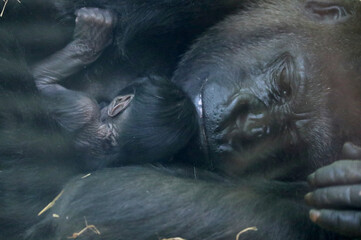 A new born baby Western lowland gorilla is seen with its mother Mambele at the Antwerp zoo