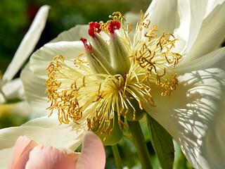 Macro white Chinese peony flower (Paeonia lactiflora)