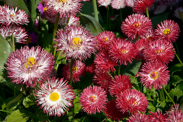 Background of red and white daisies