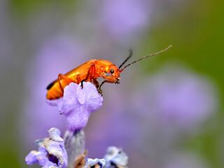 Macro common red soldier beetle (Rhagonycha fulva) on blue flower
