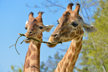 Closeup of two giraffes (Giraffa camelopardalis) eating a twig on blue sky and trees background