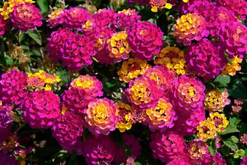 Background of yellow and red Lantana camara flowers