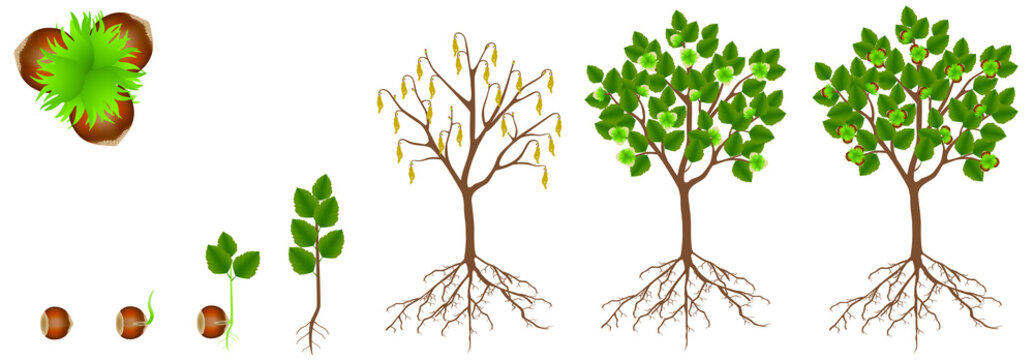Cycle of growth of hazelnut plant on a white background.