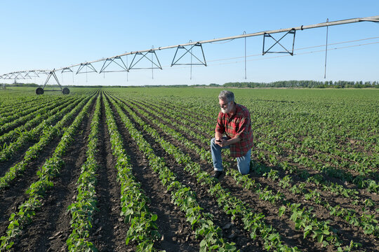 Agricultural scene, farmer inspecting soy bean plants in field