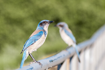 A pair of California Scrub Jay (Aphelocoma californica) birds sitting on a fence, San Francisco bay area, California