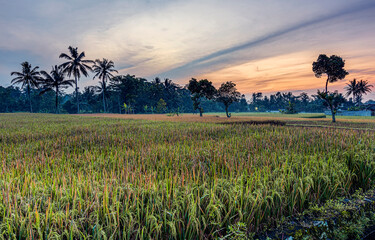 Green rice farm field in Java countryside, Indonesia with beautiful cloudy blue sky background before sunrise