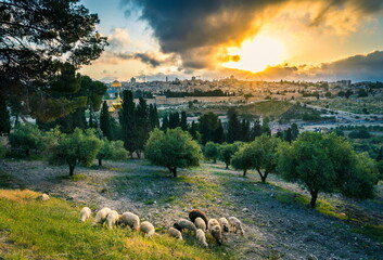 Dramatic sunset view of Jerusalem Old City landmarks: Dome of the Rock, the Golden/Gate and the Russian church of Mary Magdalene, with sheep grazing in an olive grove on the Mount of Olives