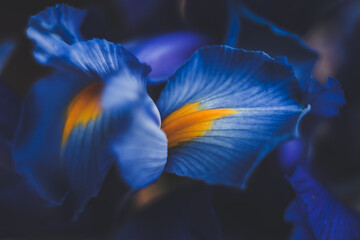 Acrylic Prints Macro photography beautiful blue iris flower close up macro shot shallow dof