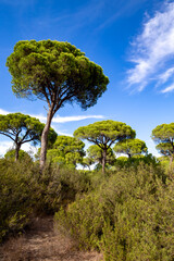 Pine trees in the Donana national park, Andalucia, Spain.