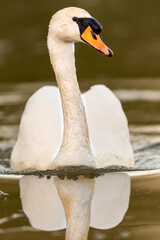 Mute swan (Cygnus olor) swimming on a lake in early morning light.