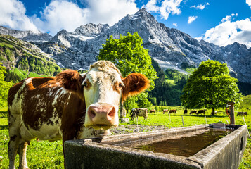 Wall Mural - nice cow at the eng alm in austria
