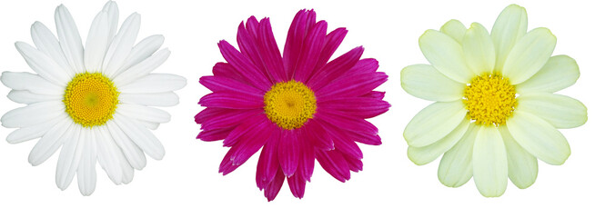 Foto op Canvas Madeliefjes Three daisies of different colors. Isolated flowers on a white background