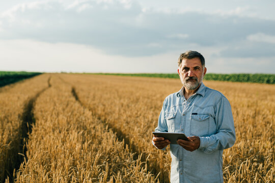 middle aged man examine wheat in wheat field, using tablet computer