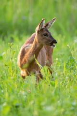 Roe deer between tall grass in summery meadow.