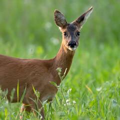 Roe deer in summery meadow looking towards camera.