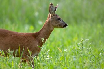 Roe deer stands in summery meadow. Side view.