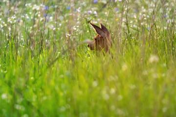 Deer hidden in summery meadow with white flowers.