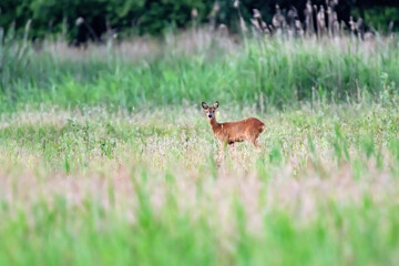 Deer in field with tall grass and reed.
