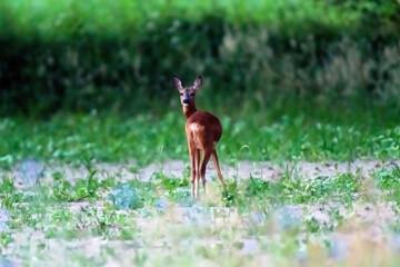 Deer in arable field at dusk.