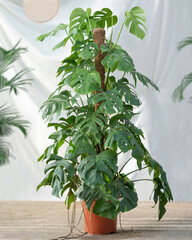 Philodendron Araceae plant with white background