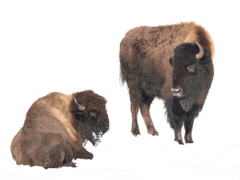 Family of bison isolated on a white background. winter in the snow