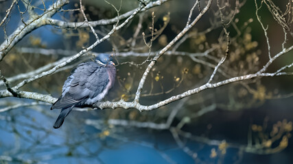 Wood pigeon perched on a branch with spring buds above a river