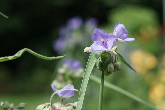 A beautiful spiderswort flower