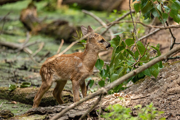 Young roe deer eats leaves from a tree in a wood