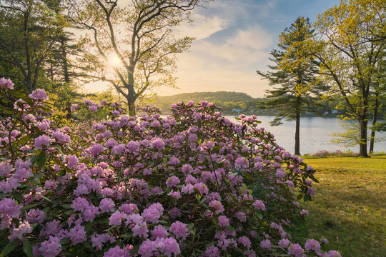 Maudslay state park with blooming rhododendrons at sunset