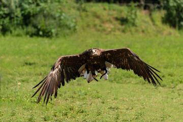 Golden eagle flies over a green meadow