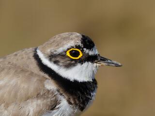 Fotoväggar - Little-ringed plover, Charadrius dubius