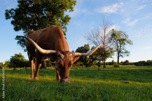 Wall mural Texas longhorn cow grazing in summer grass field close up.