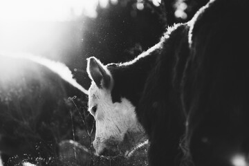 Wall Mural - Hereford calf close up in field at sunset in black and white, baby beef cow.