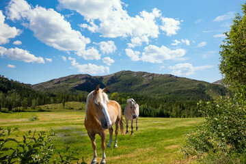 Horses on the green meadow in Velfjord, Northern Norway