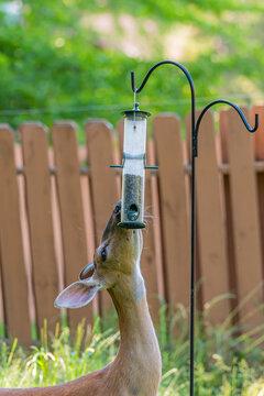 Deer in yard eating bird seed from bird feeder