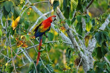 Scarlet macaw (Ara macao) eating fruit in a tree