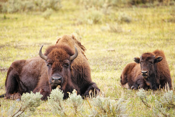 Female bison lying in a field, Yellowstone National Park, Wyoming