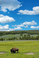 Bison standing in a field in Yellowstone National Park, Wyoming