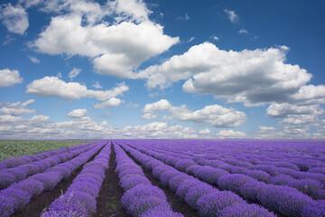 Blue sky and purple lavender field landscape or background