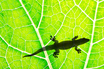 Wall Mural - lizard silhouette on green leaf close up in the detail