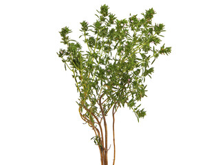 Photo sur Toile Oliviers Summer savory thyme plant isolated on white, Satureja hortensis