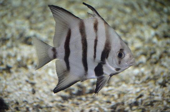 Fantastic Striped Atlantic Spadefish Swimming under the Water