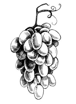 Vector hand-drawn illustration with a brush of grapes. Artwork with imitation of ink drawing, etching or linocut. Black and white hatched image. Element for design of packaging wine or juice.