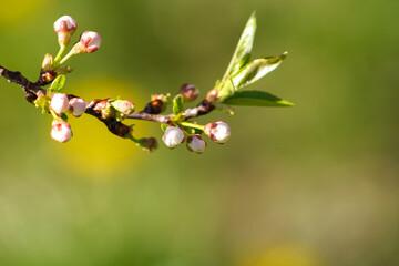 Fototapeta Close up bud of bird cherry at early spring, macro.
