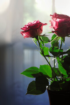 Pink roses in a vase on a dark background